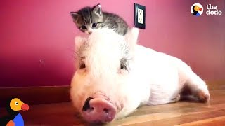 Pig Raised By Cats Thinks He's One Of Them Now - DRAGONLORD UPDATE   The Dodo