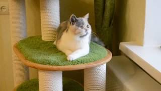 Британская кошка Кассандра- 4 мес. голубо-кремовая биколор