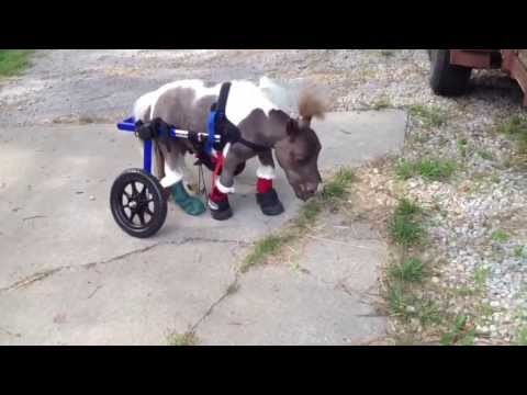 Dwarf Miniature Horse Walks with a Wheelchair for the First Time