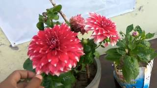 Download Video If your dahlia not blooming... see this video must || dahlia plant care and tips MP3 3GP MP4