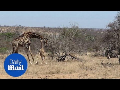 Mother giraffe protects injured calf from hungry hyenas in S