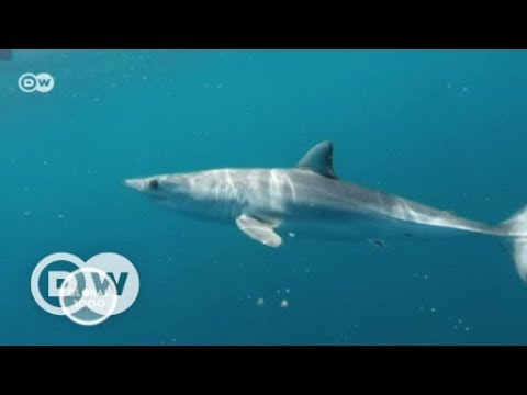 Ailing rays and sharks in the Adriatic Sea | DW English