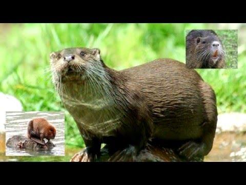Выдра речная/Otter river