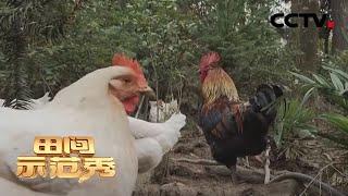 《田间示范秀》 20200525 土法精养鸡 巧种番石榴|CCTV农业
