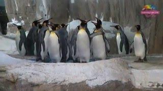 國王企鵝量體重 個性不同沒在怕 King Penguins 39 Measuring Weight