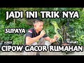 Merawat Burung Cipoh Sirtu Cara Tips Dan Trik  Mp3 - Mp4 Download