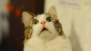 Коты разбойники 16 эп.  Влюблённый кот.  Лучшие приколы ноябрь 2016