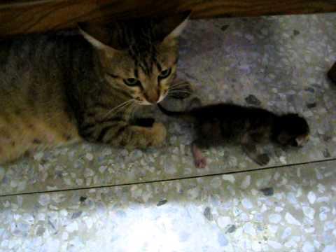 母貓又把小貓叼出來