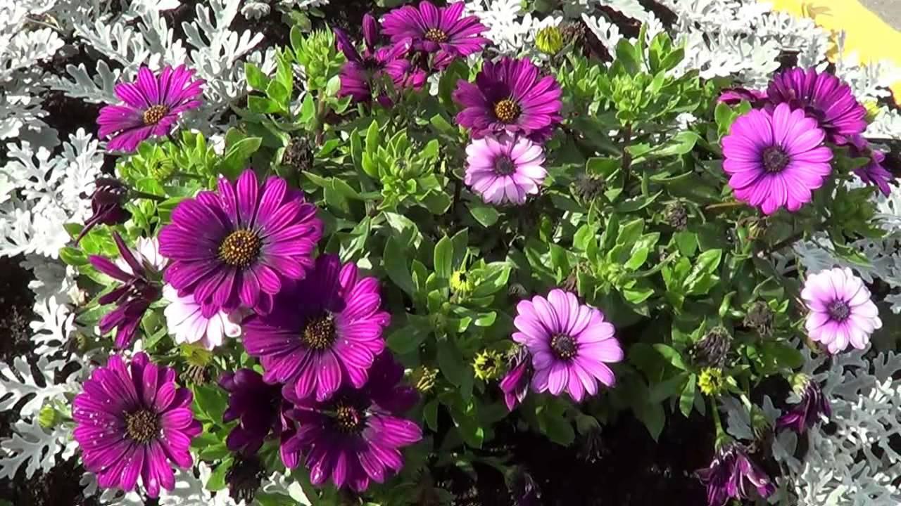 Видеофон Цветы на клумбе - YouTube