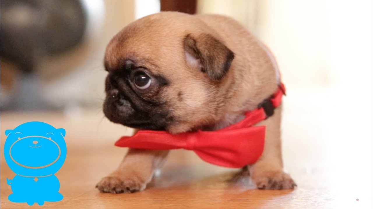 Popular Puppies Bow Adorable Dog - maxresdefault  Trends_837464  .jpg