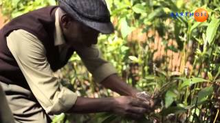 Earthoil tea tree in Kenya