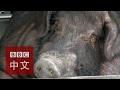 台灣動物權益組織反對農曆年神豬祭典