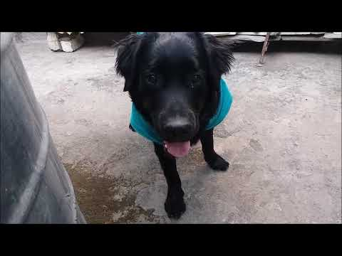 dog playing hide and seek with owner || where is black labrador  retriever || Video #6