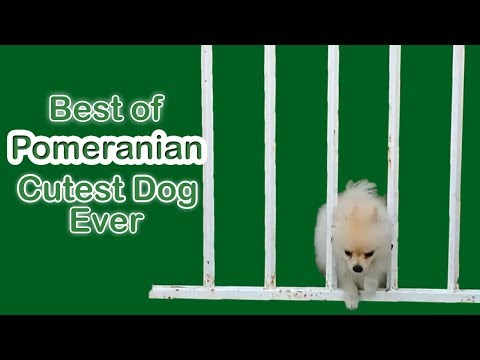Best of Pomeranian Cutest dog in this world 2018 by Viral Dogs