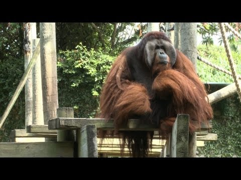 Rudi the Orangutan Gets His Heart Checked