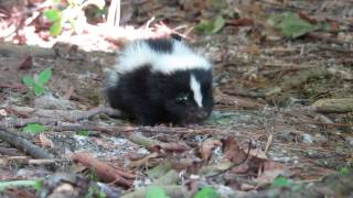 Baby Skunk Before Going To Safe And Sound Sanctuary
