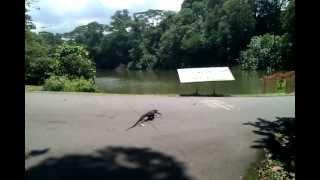 Komodo Dragon In The Park!