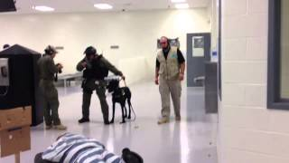 Giant Schnauzer Drilling For Riot Control Prison Work