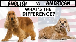 English Cocker Spaniel Vs American Cocker Spaniel | What's The Difference?