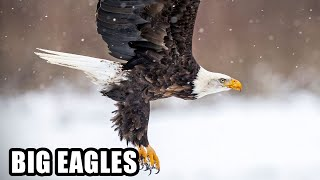 Best Eagle Attacks; World
