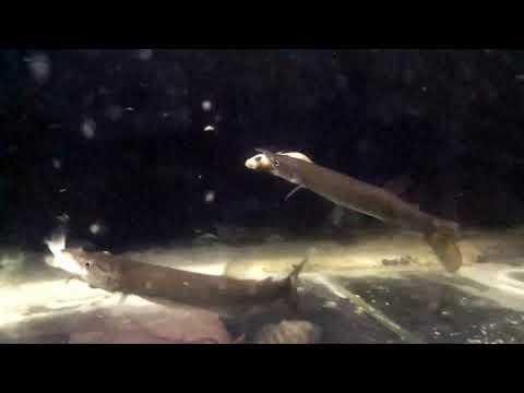 Hujeta Gar Makan Ikan Besar /live Feeding On Temporary Tank Hujeta Gar