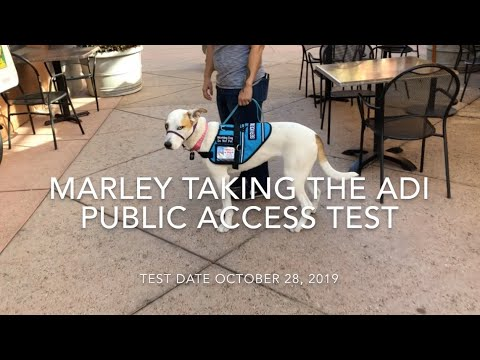 Marley Taking The ADI Public Access Test