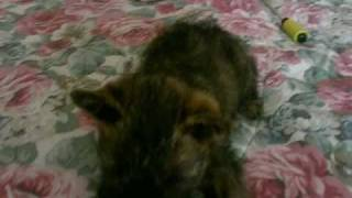 Playful 4lb Red Brindle Cairn Terrier Puppy Named Bella