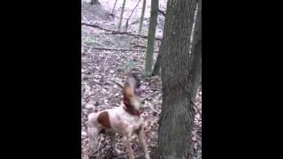 Coonhound english red tick first time treeing coon