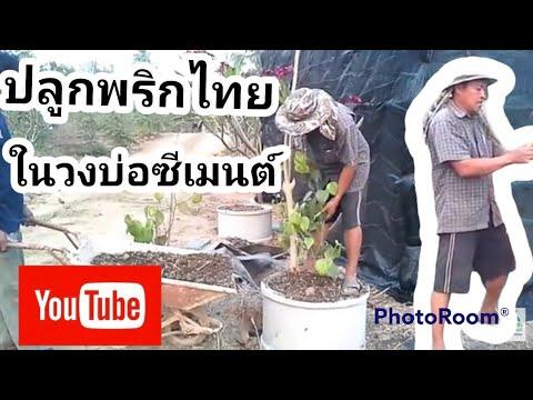 ปลูกพริกไทยวิธีการปลูกพริกไทยในวงบ่อซีเมนต์