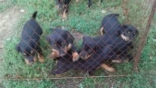 ягдтерьер гладкошерстный щенки | terrier dog,  puppies