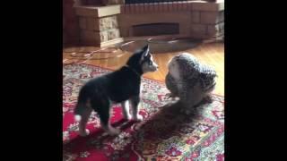 愛し合う子犬とフクロウ…熱烈キスが止まらない(動画)