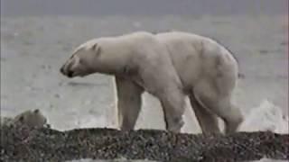 Белый медведь атакует Polar bear attacks