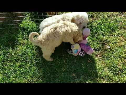 cavoodle and bichoodle pups