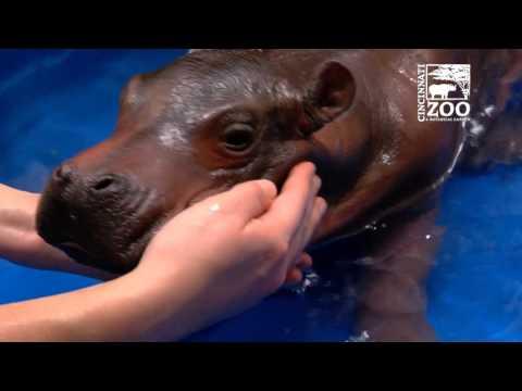 Premature Hippo Baby has First Pool Experience - Cincinnati Zoo