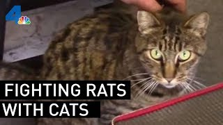 Los Angeles City Hall Fighting Rat Problem With Cats  | NBCLA