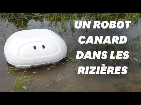 """Un robot """"canard"""" comme alternative aux pesticides dans les rizières"""