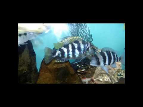 African Cichlids peacocks an Haps malawi  Photo Gallery