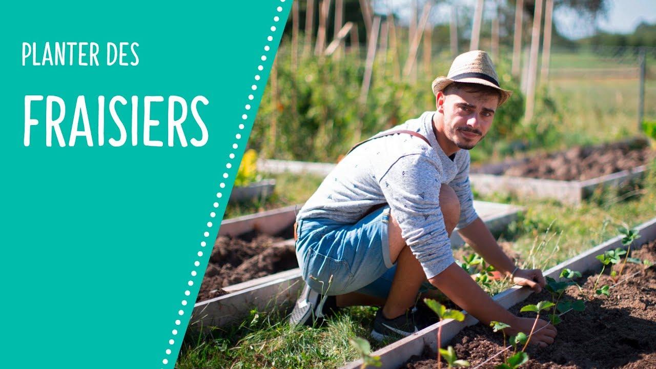 Comment Entretenir Les Fraisiers En Automne planter les fraisiers - tom le jardinier | migros magazine