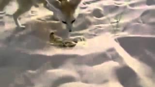 Лиса Фенек против скорпиона