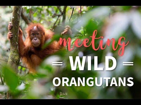 Meeting wild Orangutans in Sumatra
