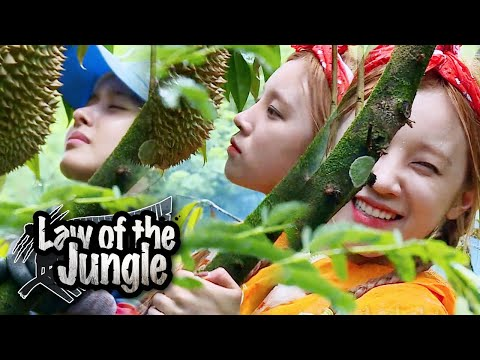 Yuqi Carefully Tastes The Durian First~ What Will Durian Taste Like? [Law Of The Jungle Ep 382]