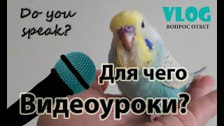 🎓 ✉ Учим попугая говорить с помощью видеоуроков!