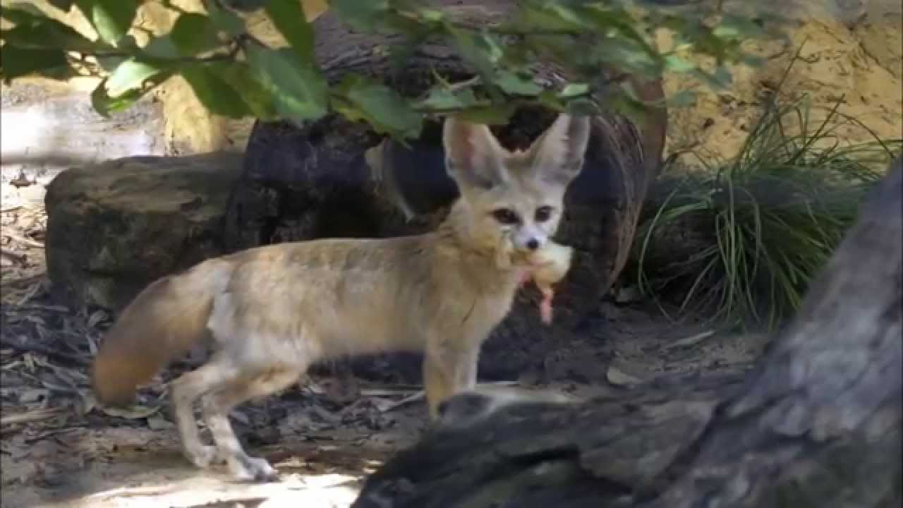 Download Wild Life at the Zoo Season 2 Episode 5 - Fennec Foxes, White Rhimoceros & Munroe