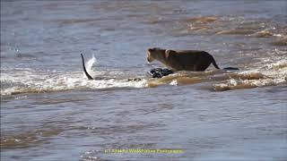A must watch from Maasai mara -  Lions crossing Mara river