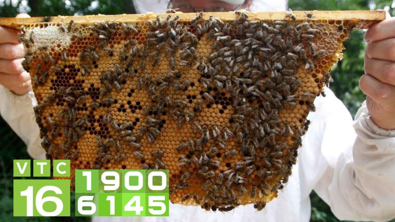 Nuôi 80.000 đàn ong, sản lượng 5000 tấn mật, phấn/năm   VTC16