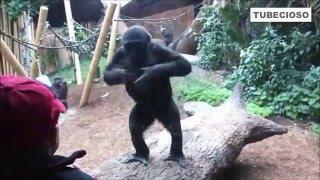 Videos graciosos de monos, orangutan, chimpances 2016 II Tubecioso