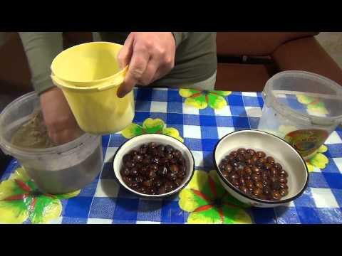 Подготовка плодов лесного ореха к посадке.