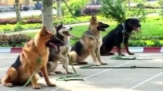 Huấn luyện chó nghiệp vụ tr๐ng quân đội