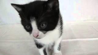 1) black-white cat female (черно-белая кошка)