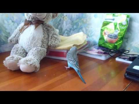 Волнистые попугаи – это идеальный вариант для начинающих заводчиков птиц. Их природный окрас – зеленый, с поперечными волнистыми штрихами темного цвета. В искусственных условиях были выведены и другие окраски: синие с черным рисунком, желтые с голубоватым рисунком, пестрые с.